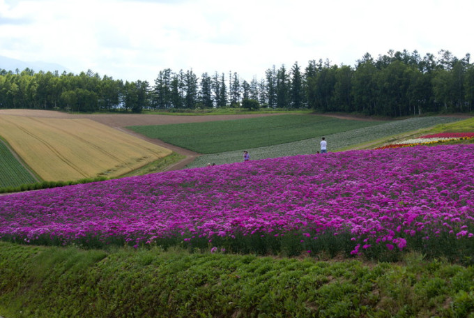 去看那一片紫色的北海道