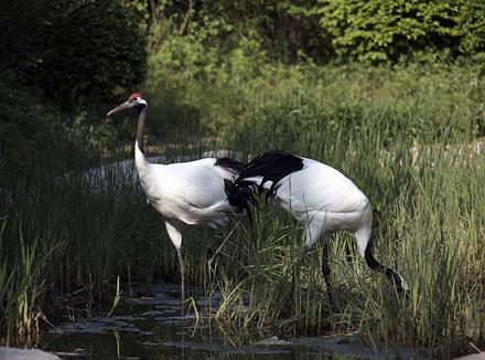 白枕鹤,丹顶鹤,灰鹤,蓑羽鹤,黑,白天鹅,疣鼻天鹅,鸿雁,鸭类,孔雀,白鹇